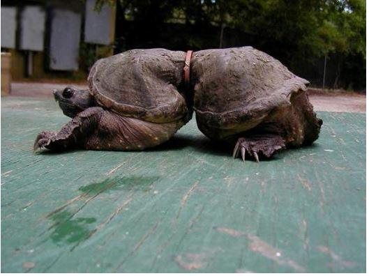 Turtle deformed through plastic waste