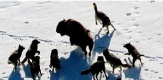 Corona virus culls humans like wolves cull buffalo.