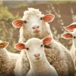 New York Covid response like sheep compared with New Zealand
